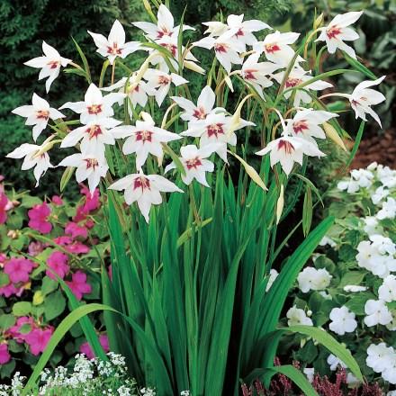 Orchid Gladiolus 4034