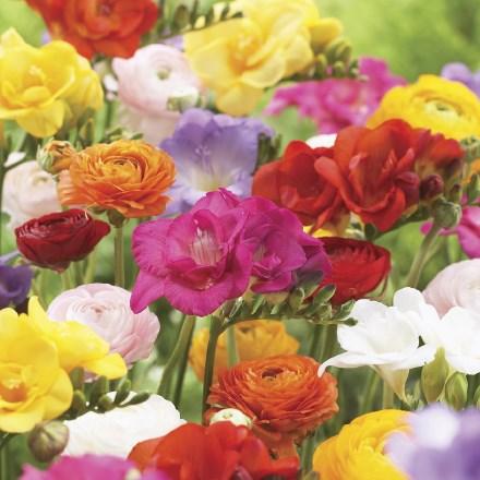 Ranunculus Mixture 4046