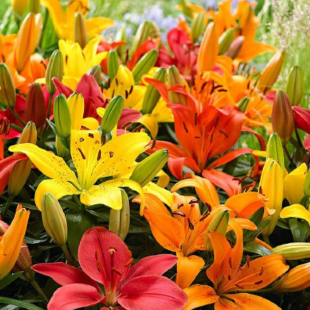 Mixed Asiatic Lilies - 4 Bulbs 4013