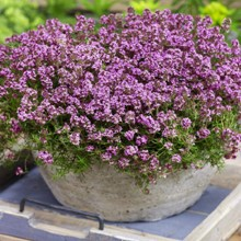 Ground Cover Creeping Thyme Seed Mat 4090