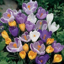 Mixed Crocus – 20 bulbs 4012