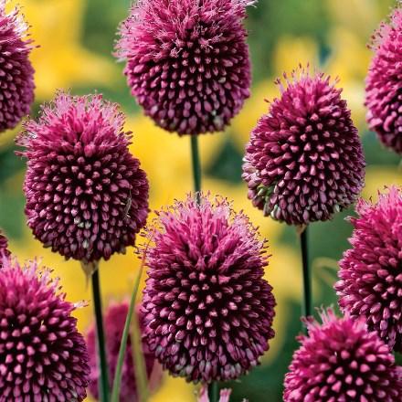 Drumstick Allium 4039