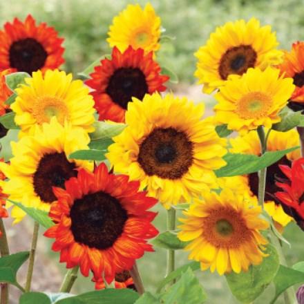Sunflower Seed Mat 4712