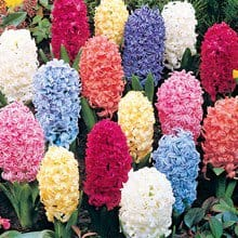 Giant Hyacinths Mix – 4 bulbs 4015
