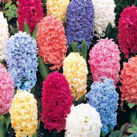 Giant Hyacinths Mix - 4 Bulbs 4074