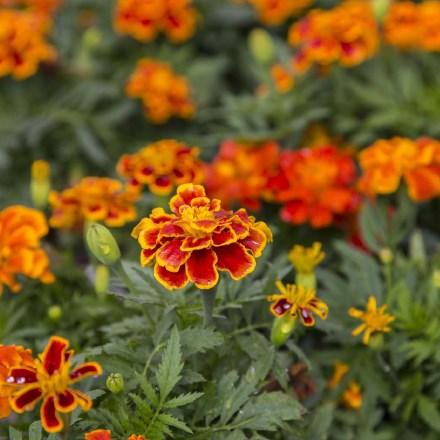 Marigold Seed Mat 4068