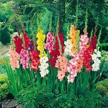Mixed Gladiolus 4021