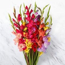 Mixed Gladiolus 4021