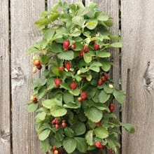 Hanging Strawberry Kit 4648