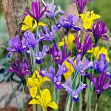 Dutch Iris Mix 4053