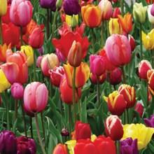 Mixed Tulips 4014