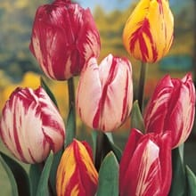 Mixed Rembrandt Tulips 4096