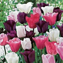 Mixed Sorbet Tulips - 8 bulbs 4010