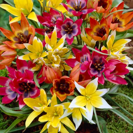 Ground Cover Mixed Tulips 4003