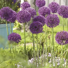 Giant Purple Sensation Allium – 5 Bulbs 4055