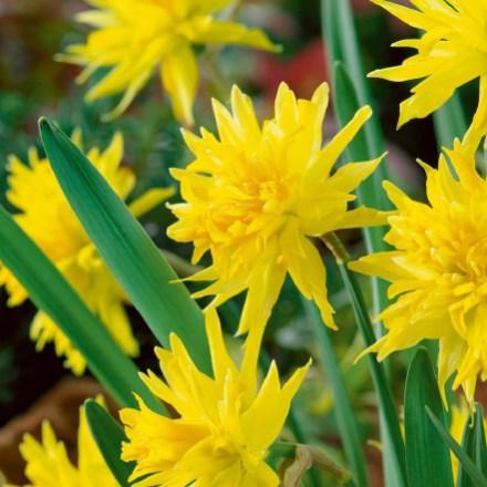 Rip Van Winkle Daffodils 4062