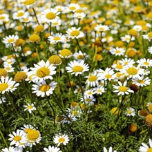 Ground Cover Roman Chamomile Seed Mat 4079
