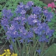 Lavender Mountain Lilies 4044